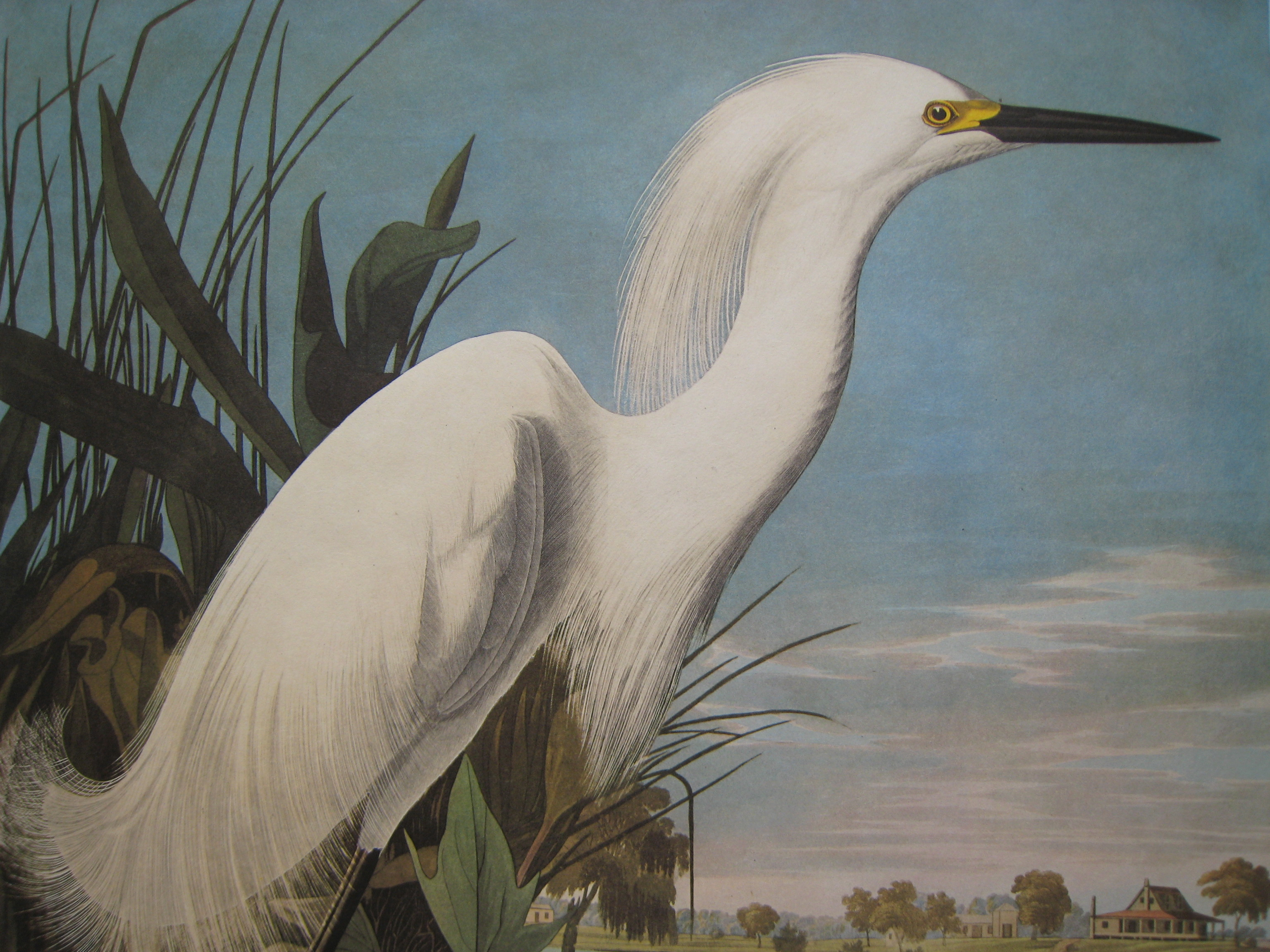 John James Audubon Snowy Heron Or White Egret 1971 1972 Amsterdam Edition 250 Ebay